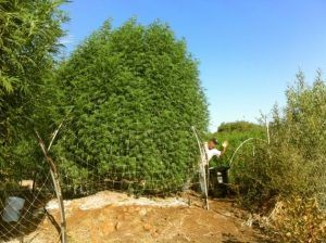 cannabis harvest