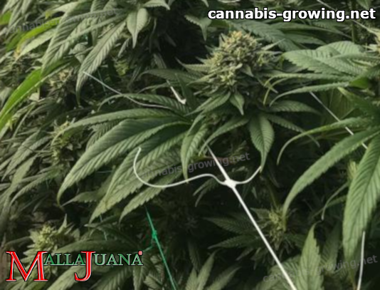 mallajuana used for support to cannabis plant