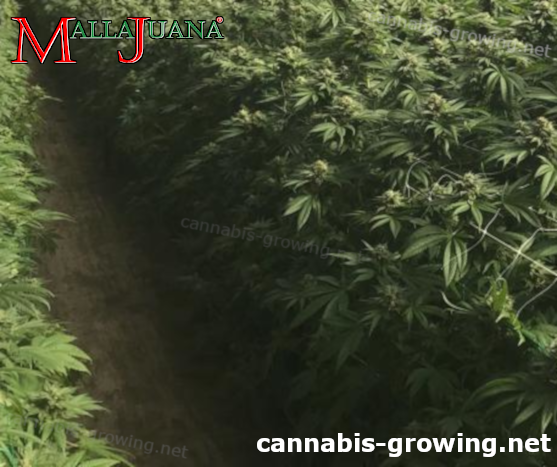 cannabis crops using mallajuana for support system