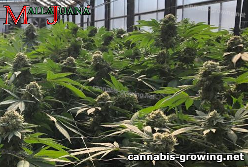 cannabis cropfield tutoring by mallajuana support netting