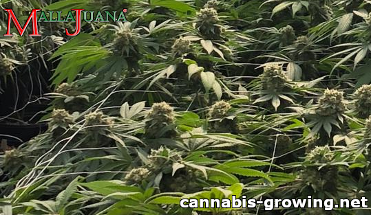 cannabis crops using mallajuana for tutoring to them