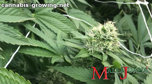 cannabis plant using mallajuana support net